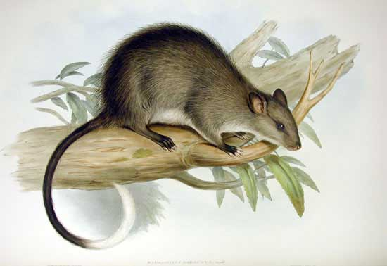 Black-footed tree rat, by John Gould