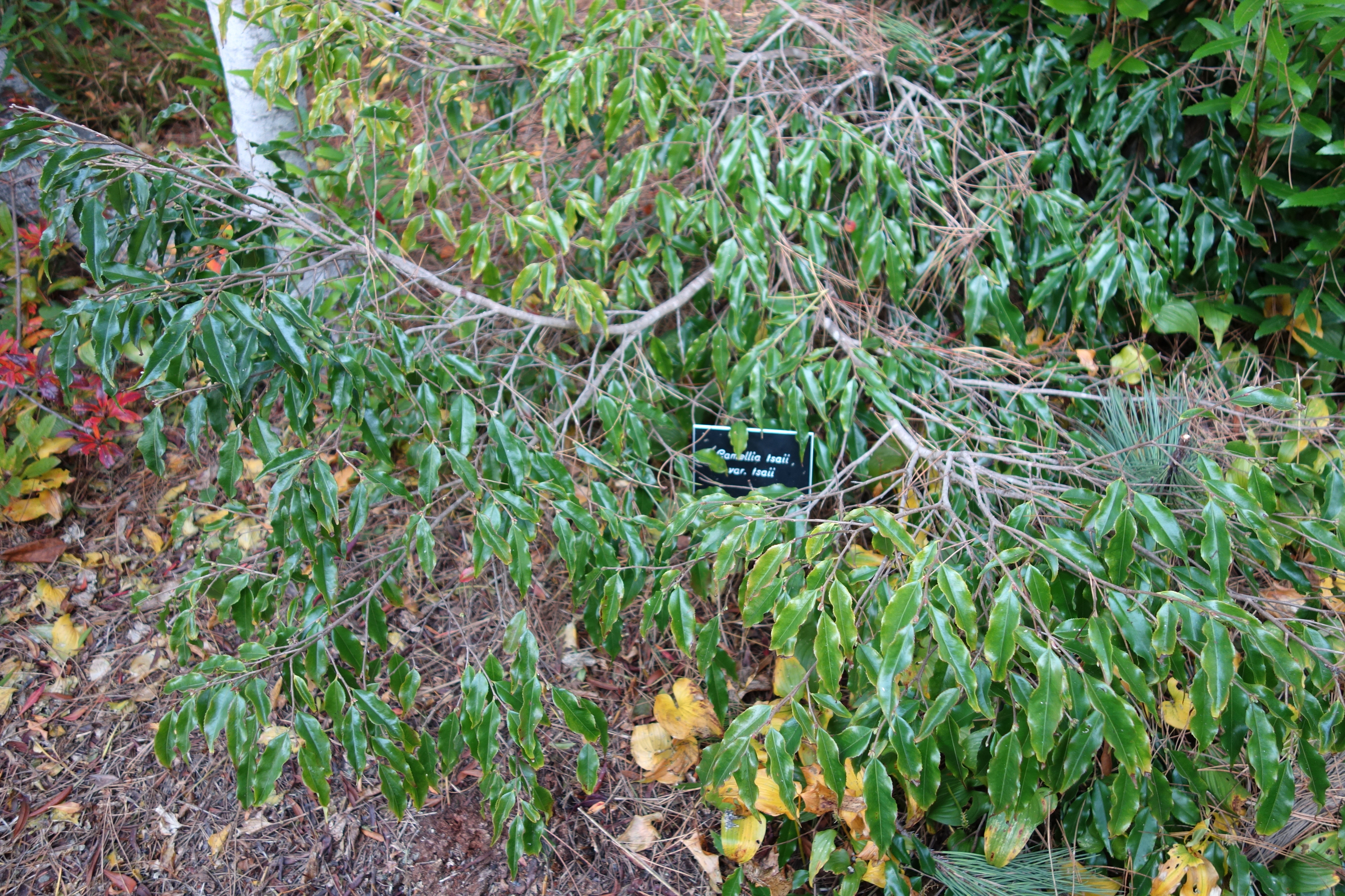 File:Camellia Tsaii   Mendocino Coast Botanical Gardens   DSC02317.JPG