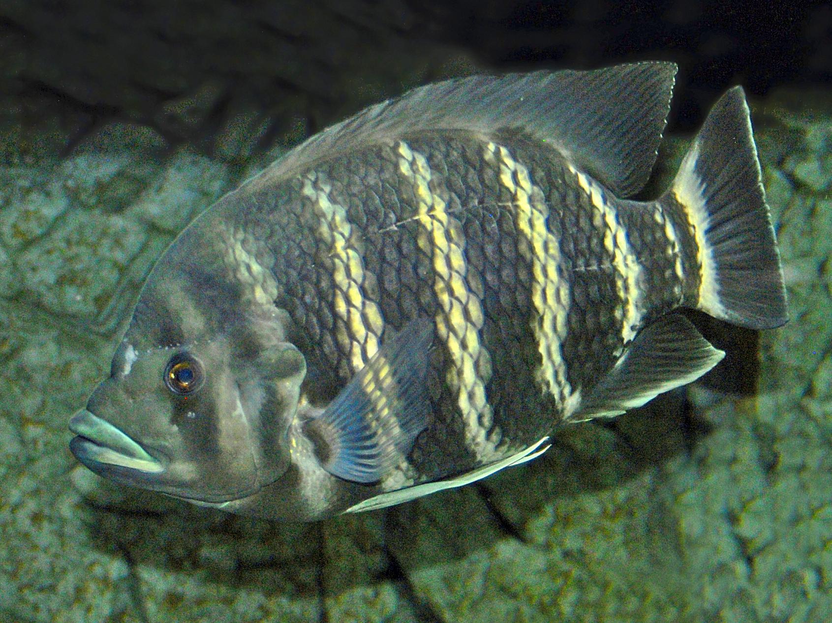 Heterotilapia buttikoferi - Wikipedia
