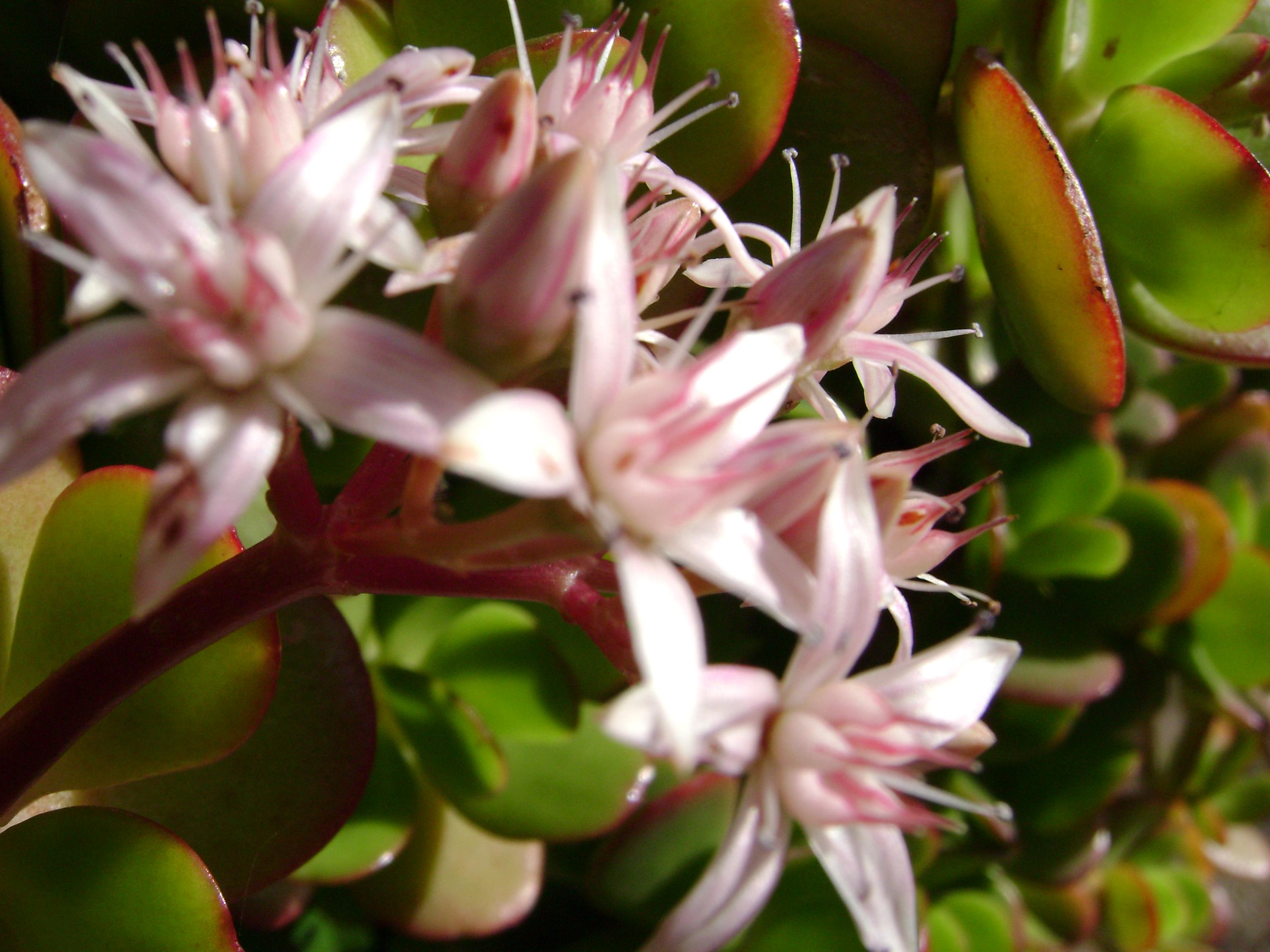 Fiori Con La C.File Crassula Arborescens Con Fiore Jpg Wikimedia Commons