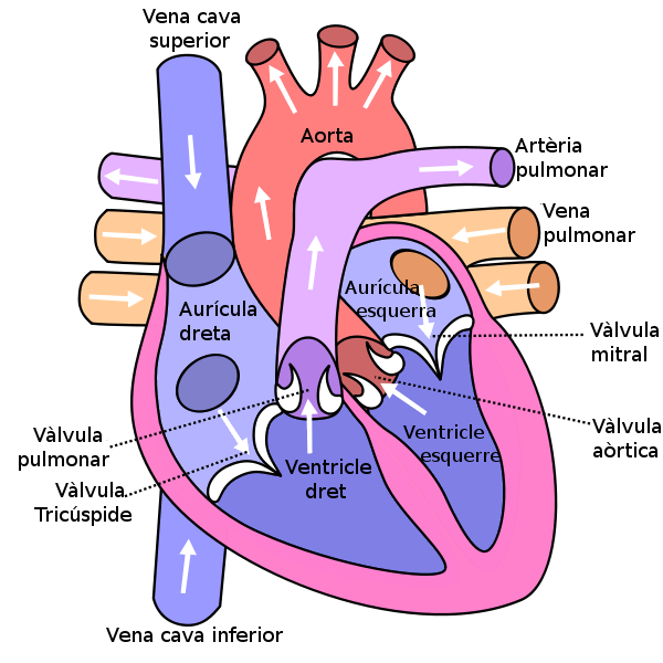 Picture of the human heart diagram craftbrewswagfo filediagram of the human heart catalan wikimedia commons muscles ccuart Image collections