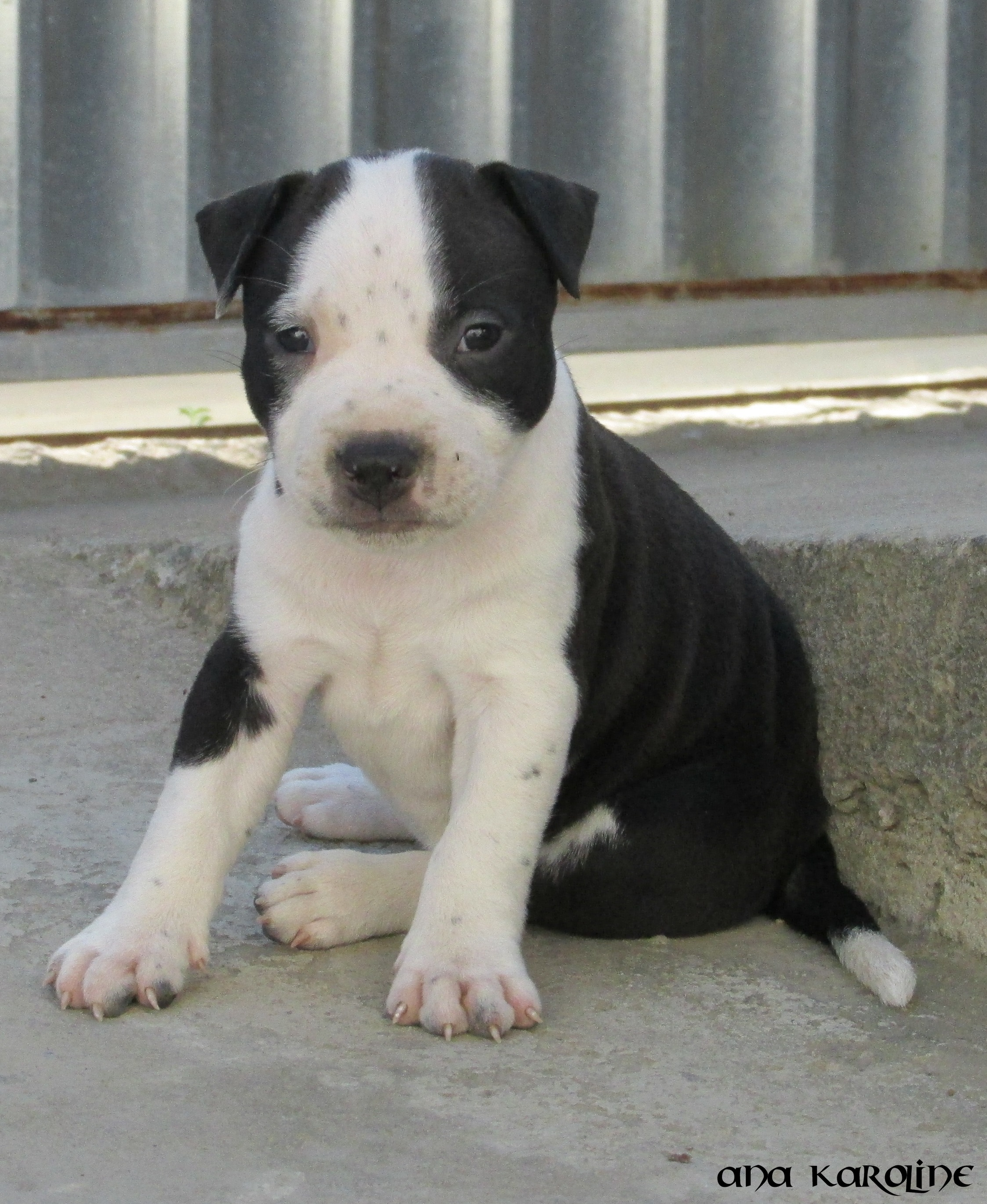 file dog black and white puppy jpg wikimedia commons