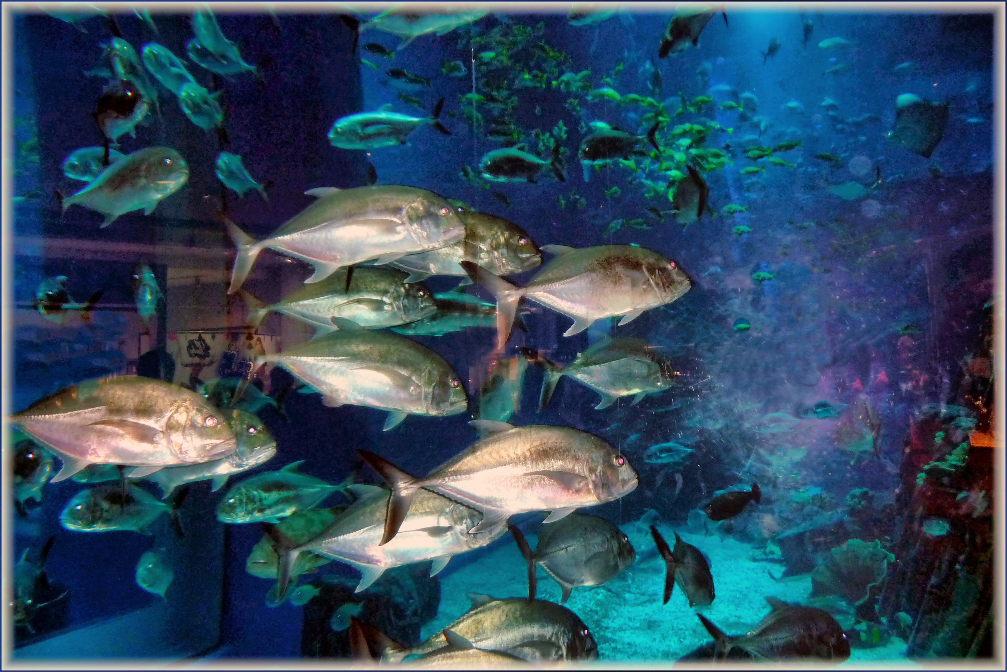 Freshwater Aquarium Fish In Dubai - File dubai aquarium panoramio jpg