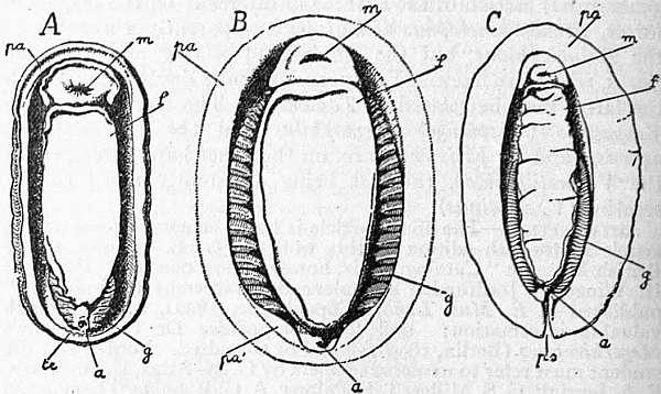 1911 Encyclop U00e6dia Britannica  Chiton