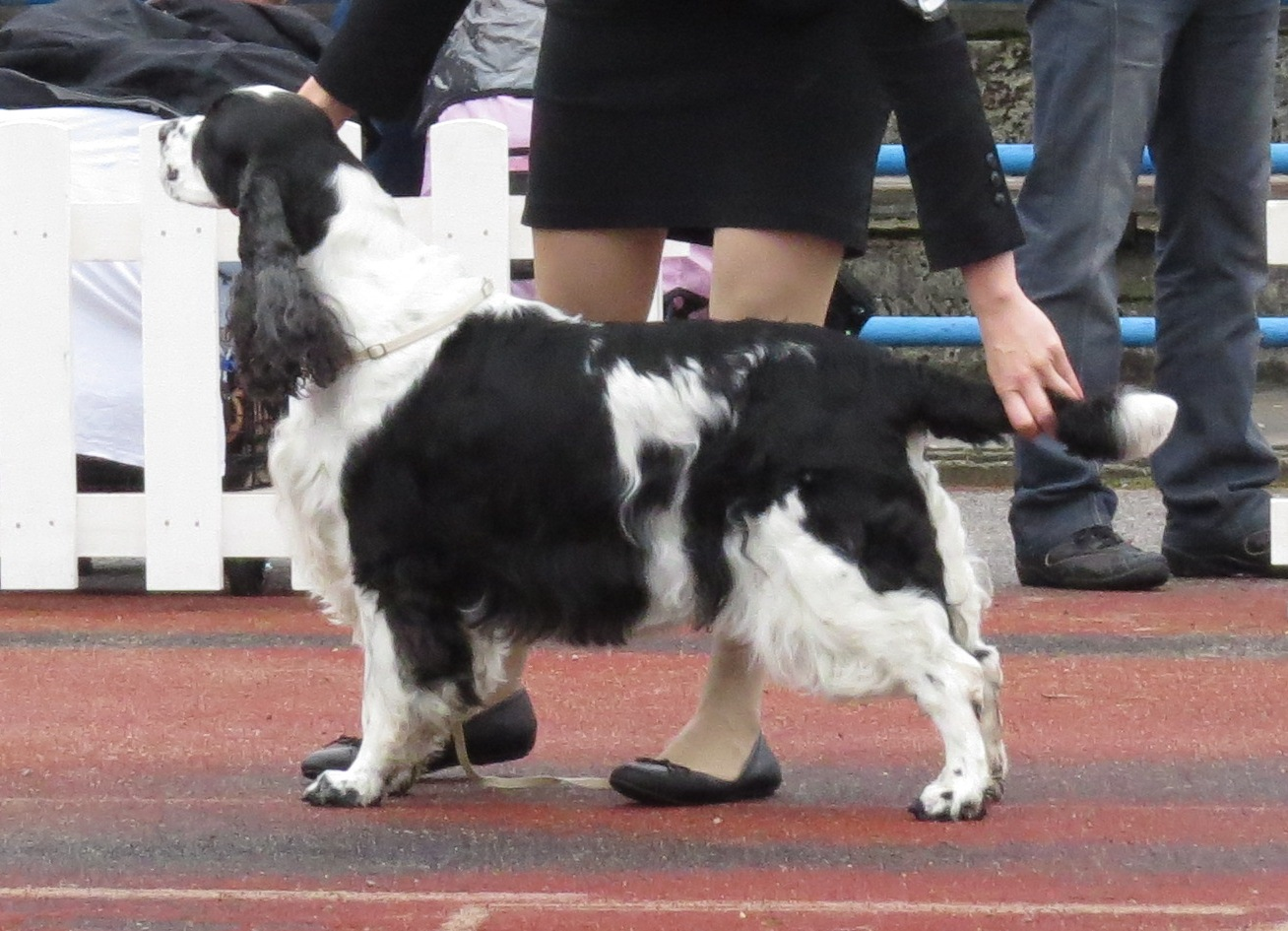 Dog Breed Descended From Collie