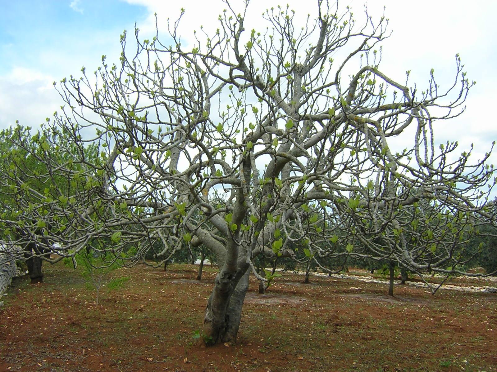Ein Feigenbaum im Frühjahr