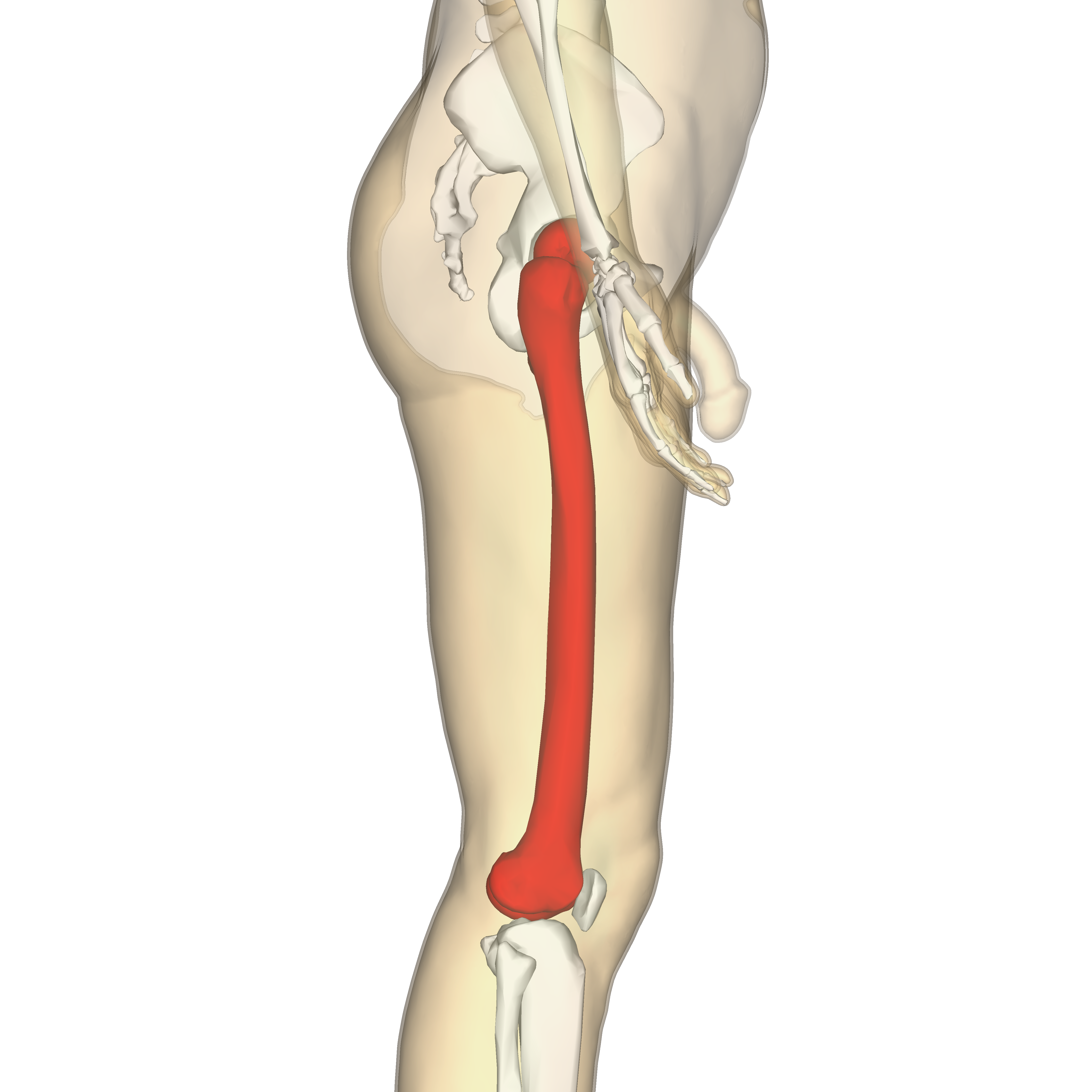 Filefemur Lateral View3g Wikimedia Commons