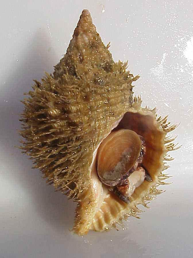 Fusitriton oregonensis.jpg