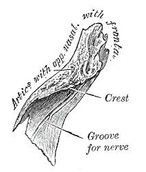 Right nasal bone. Inner surface. Gray156.