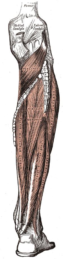 m.fibularis longus (na obrázku vpravo jako m.peroneus longus)