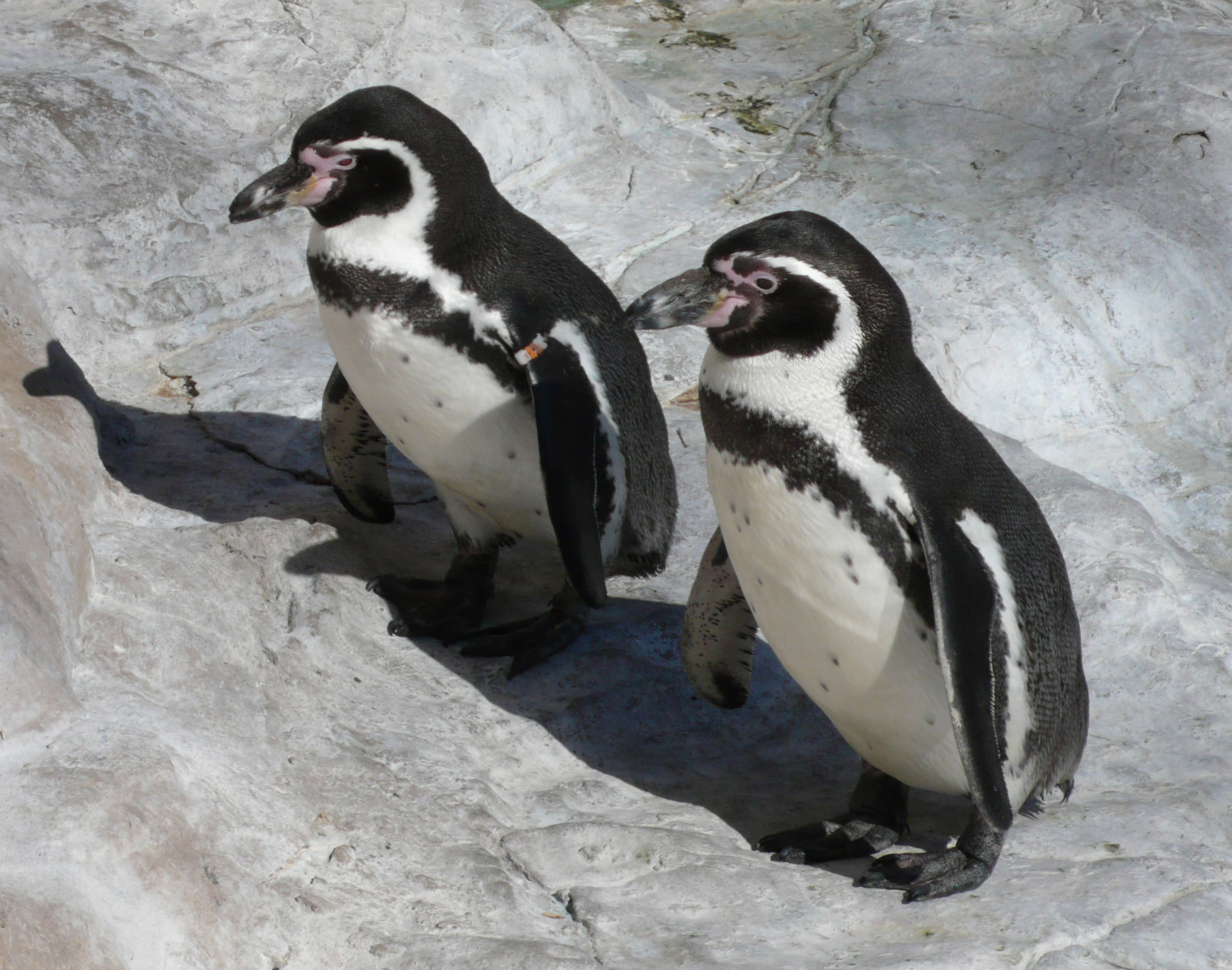File:Humboldt Penguins.jpg - Wikimedia Commons