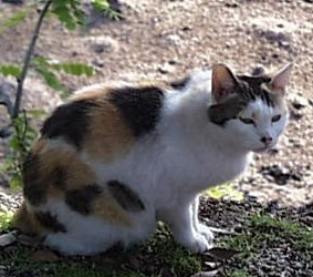 Le chat en Asie : Chine, Thaïlande, Japon. Japanese_Bobtail_Cat%2C_Japan
