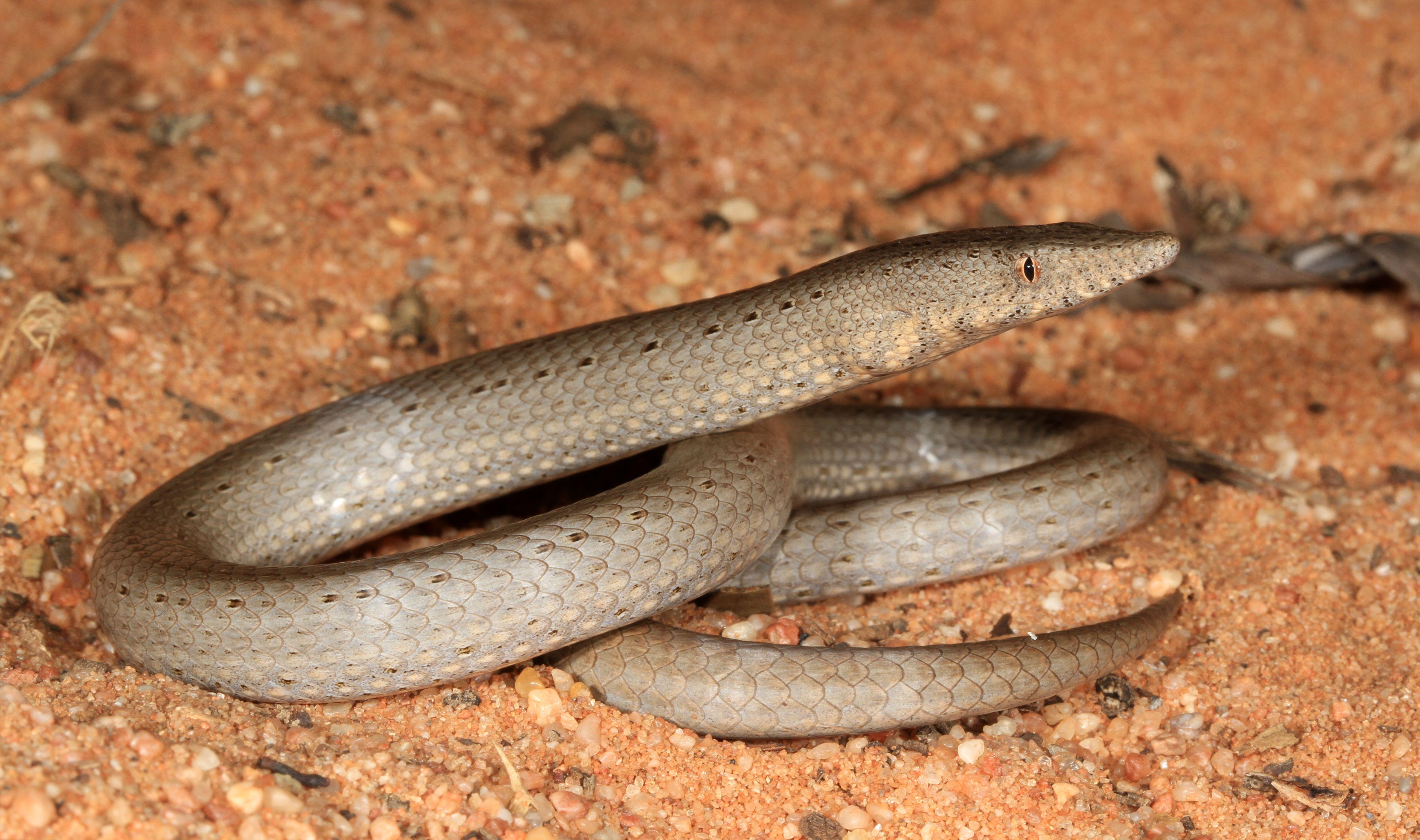 """Lialis burtoni"""" atau legless lizard kadal tanpa kaki"""