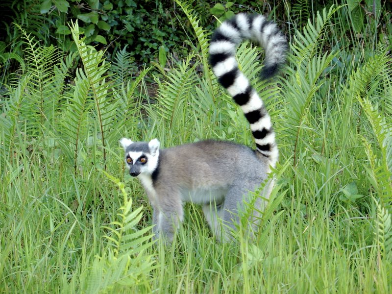 Lemuroidea - Wikipedia, la enciclopedia libre