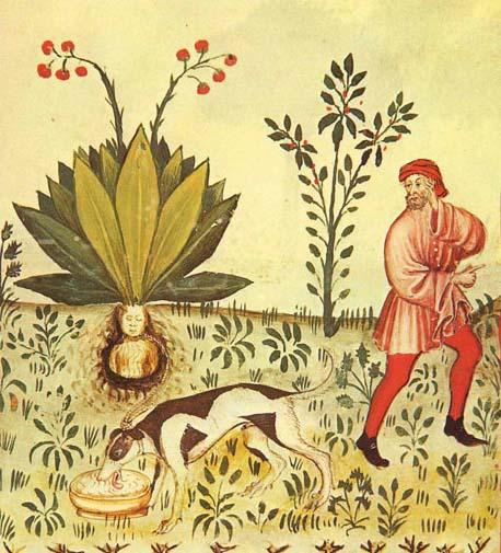 Mandragora Tacuinum Sanitatis.jpg