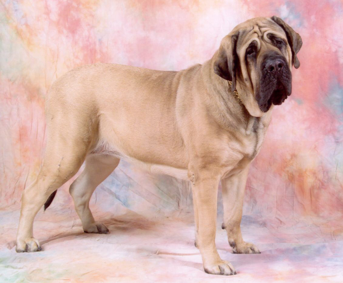 English Mastiff Dog For Sale In Punjab