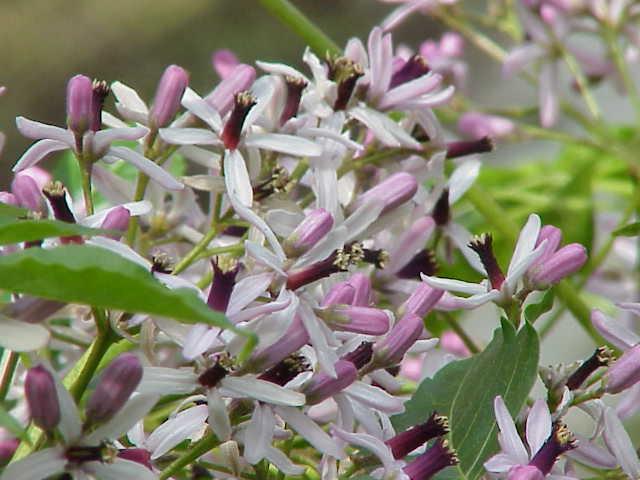 fleurs du lilas de perse
