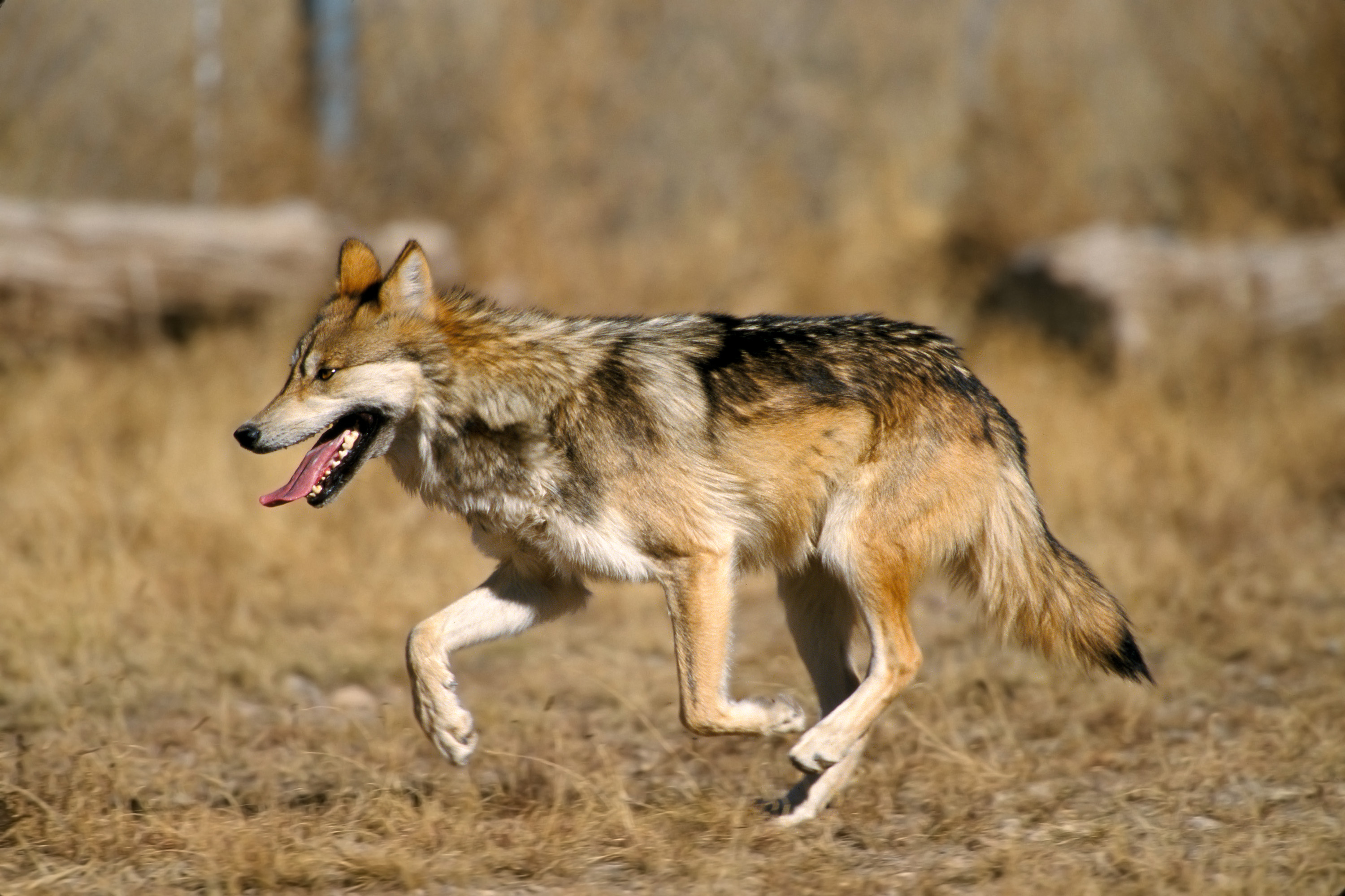 Mexican wolf - Wikipedia