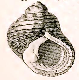 Monodonta australis 001.jpg