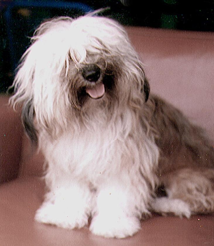 Cavachon Dog Black And White