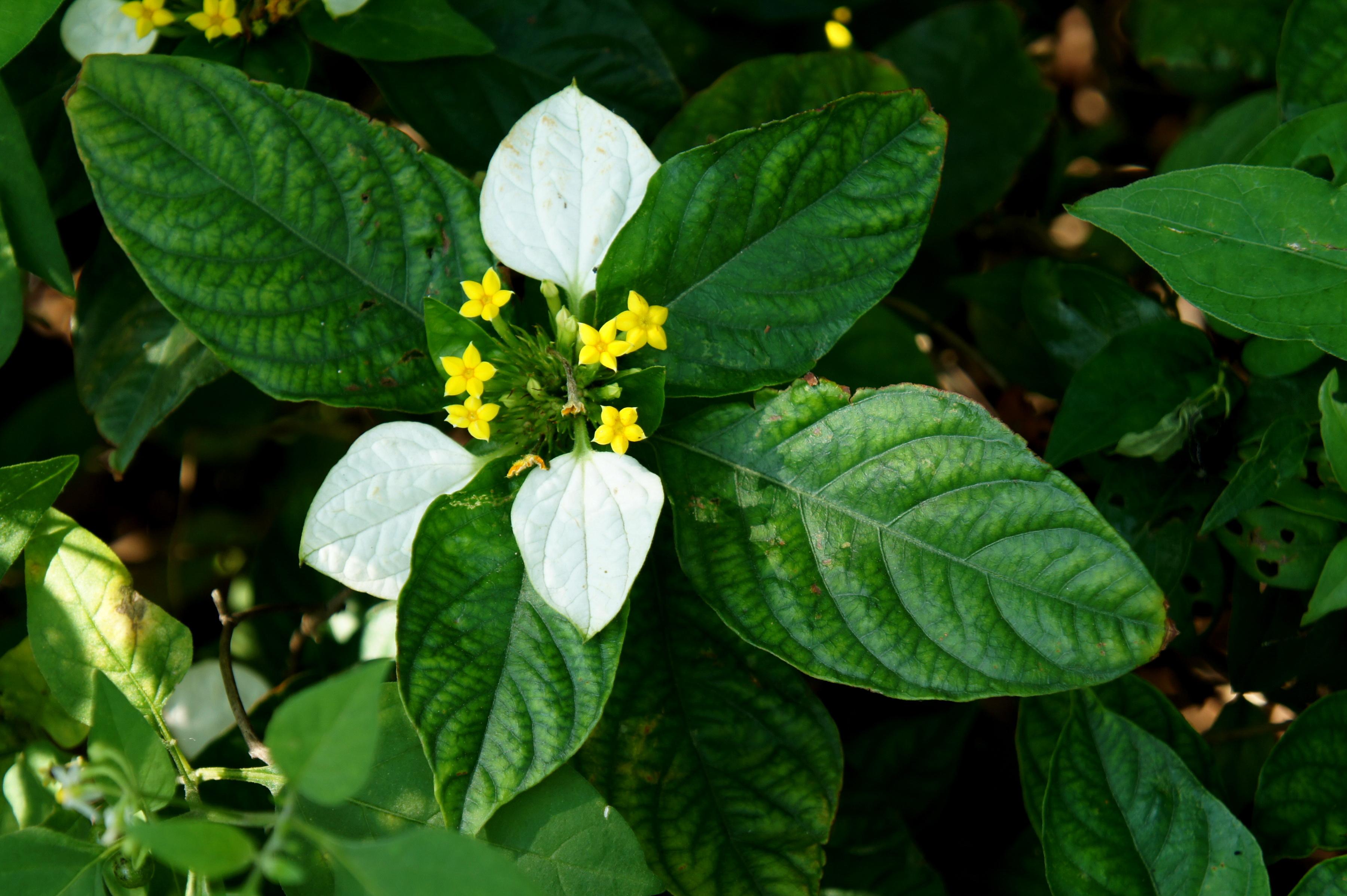 Nusa indah putih wikipedia bahasa indonesia ensiklopedia bebas bunga dan daunnya ccuart Images