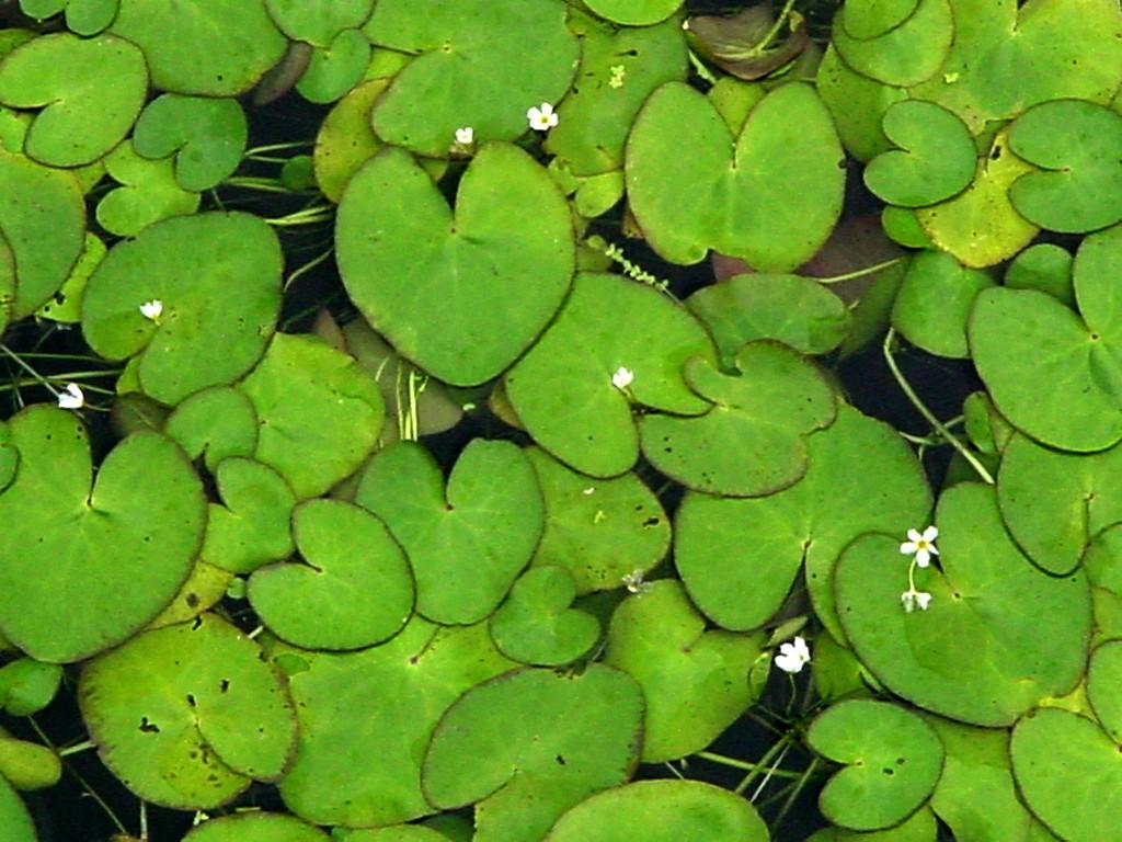 Nymphoides Hydrophylla