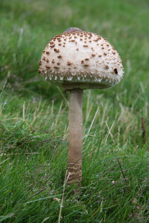 Chlorophyllum brunneum – Shaggy Parasol Mushroom |Parasol Mushroom
