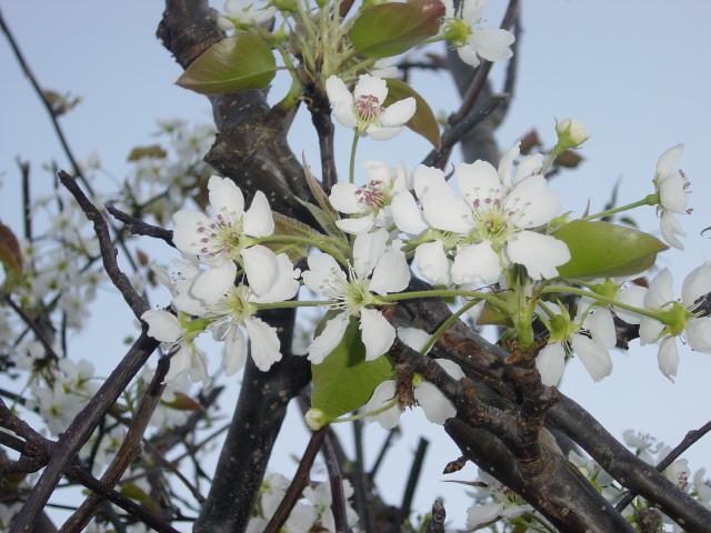 A pear Tree in Flower
