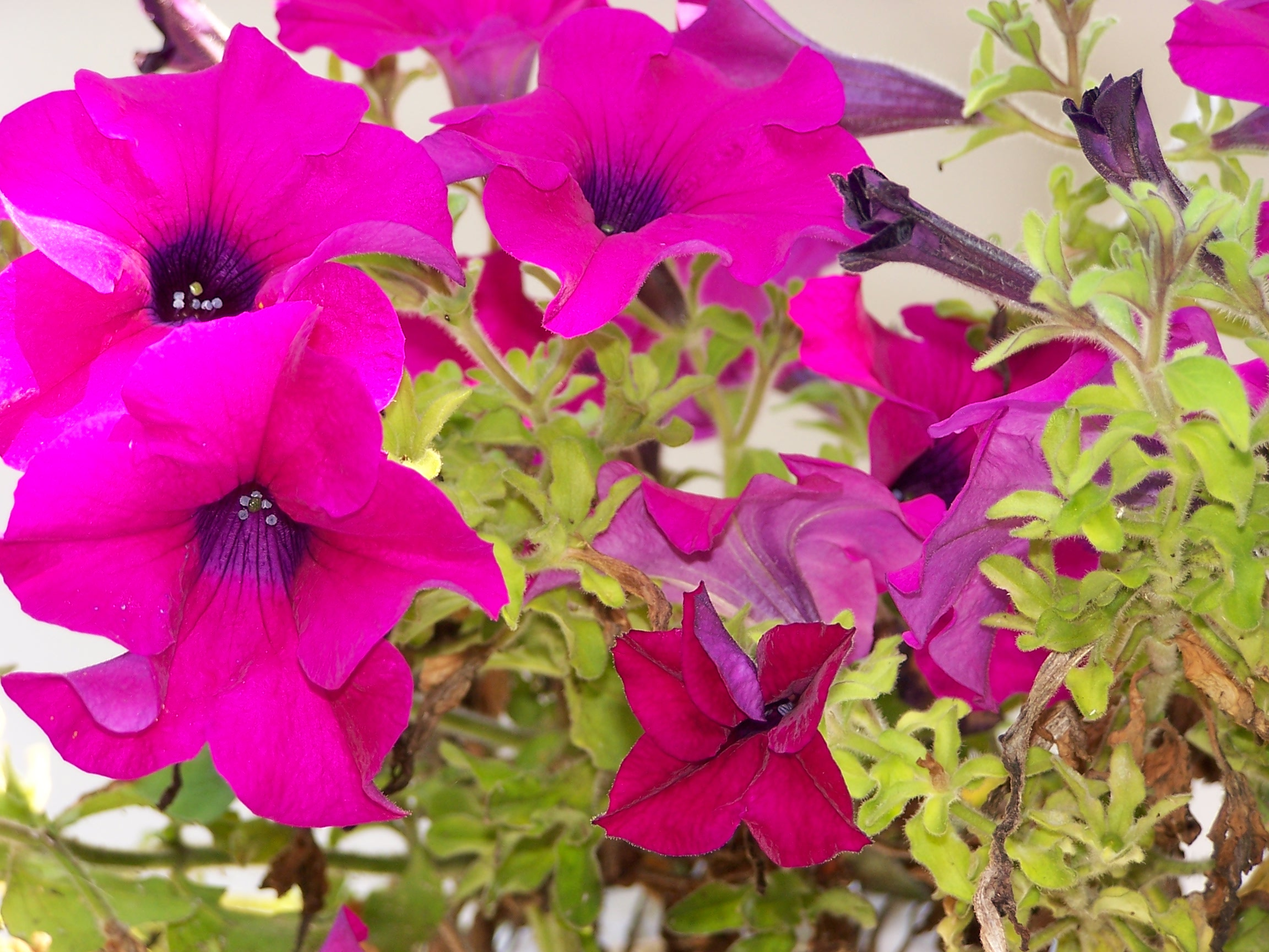 File:Petunia Hybrida 01.JPG