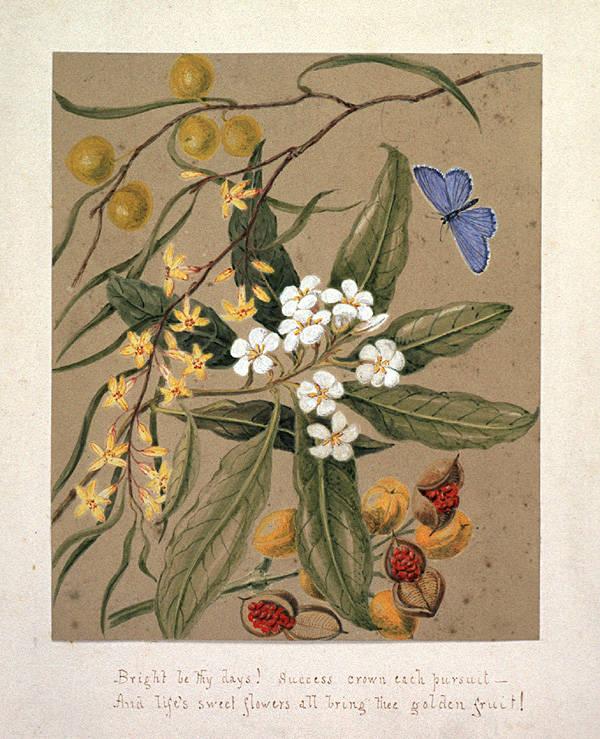 Depiction of Pittosporum undulatum