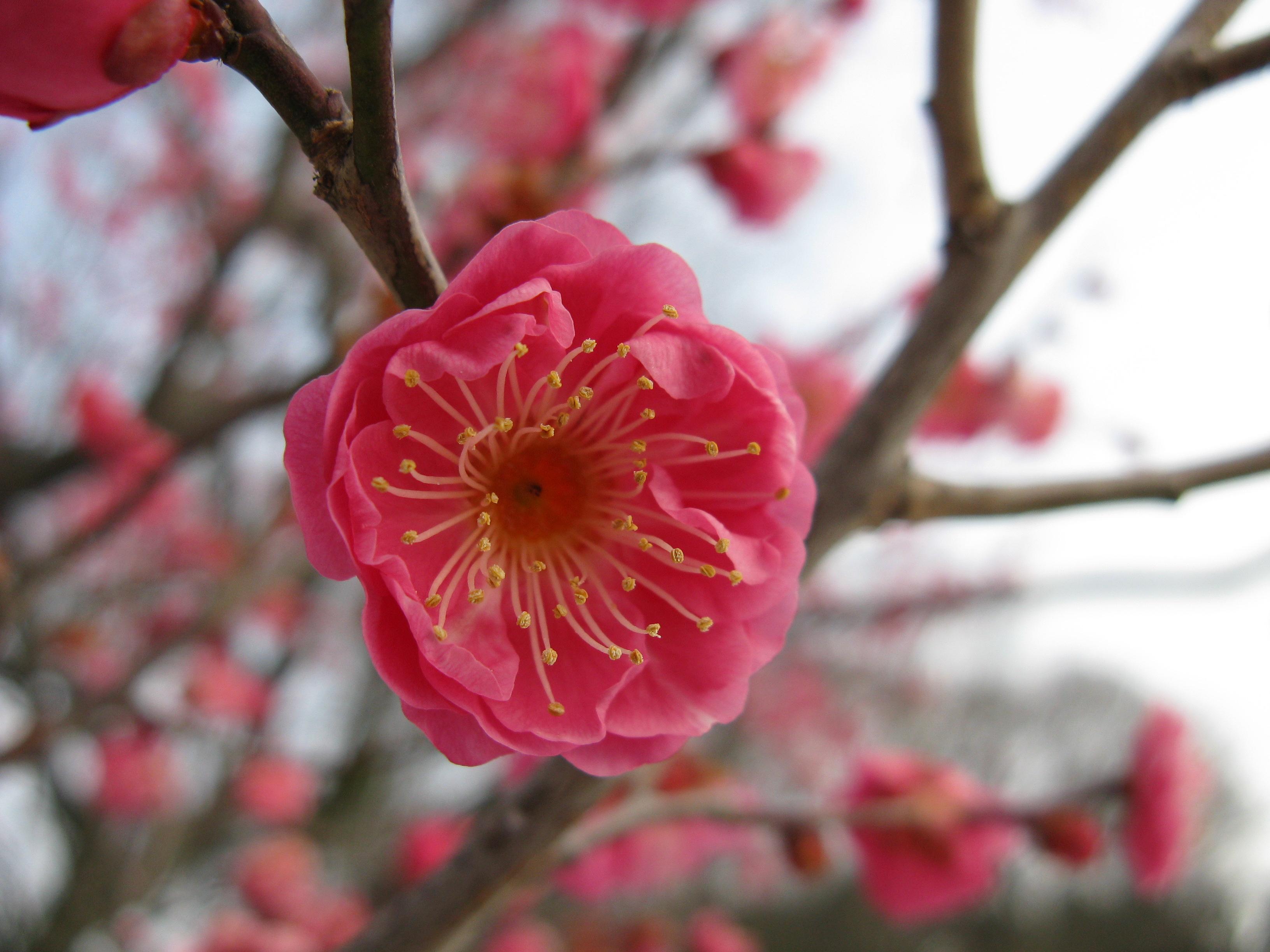 otes u0026 39 s art room  3rd grade u0026 39 s chinese plum blossoms