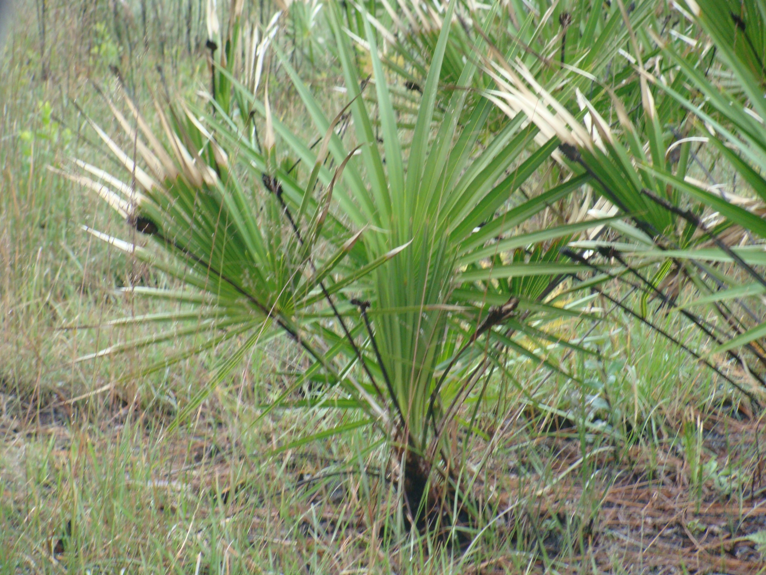 What is the best saw palmetto