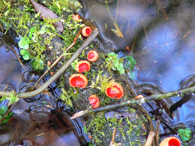 File:Scarlet elf cup, Thames and Severn canal, near Frampton Mansell - geograph.org.uk - 1133844.jpg