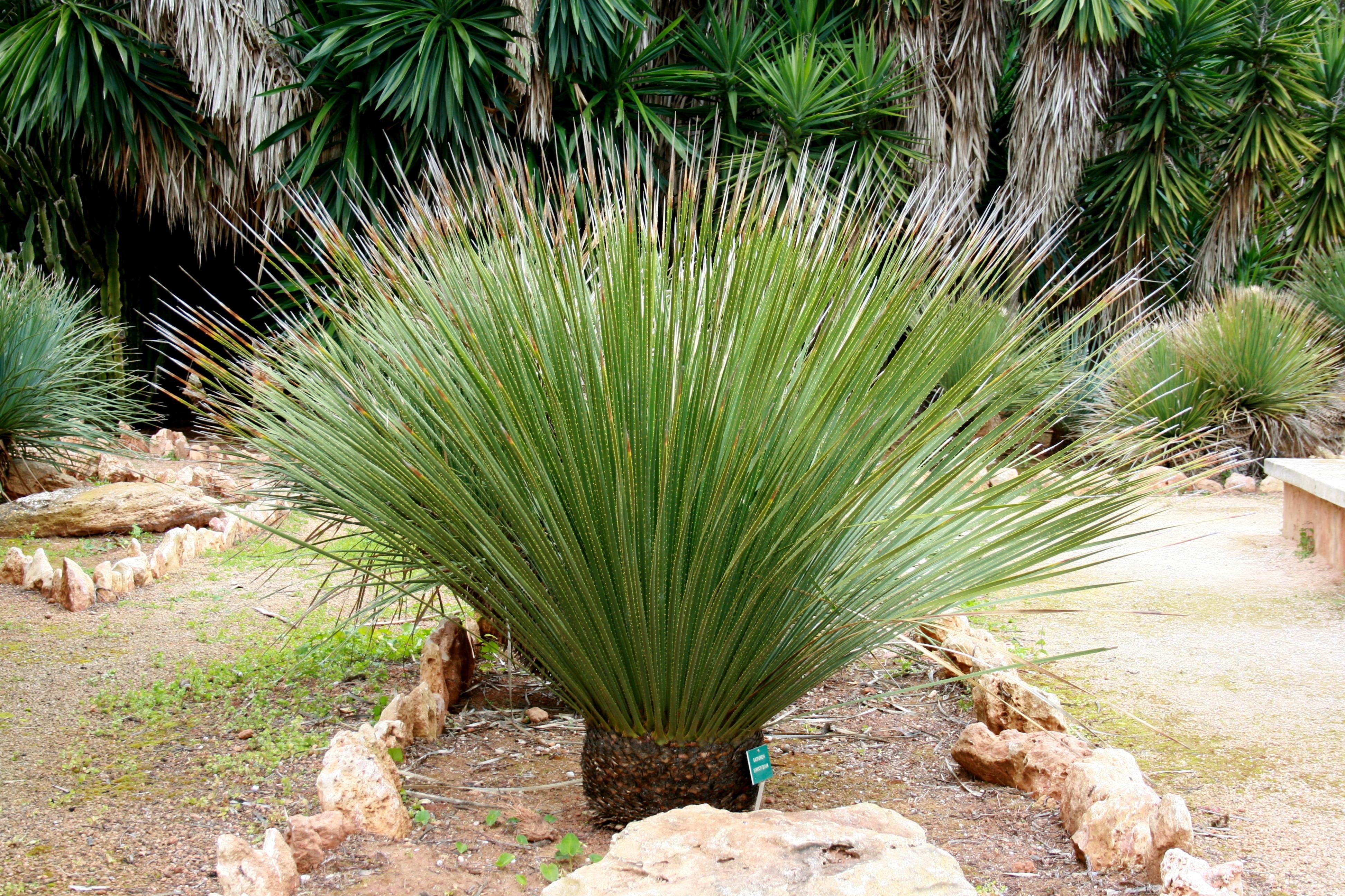 File ses salines botanicactus dasylirion serratifolium for Plante exotique exterieur rustique