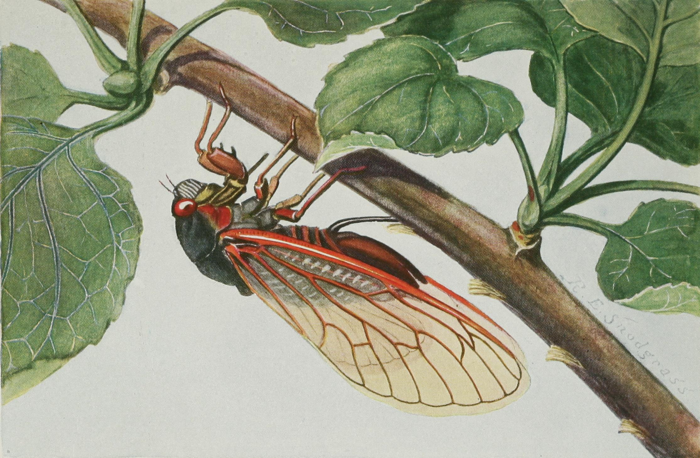 Snodgrass Magicicada septendecim.jpg