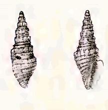 <i>Splendrillia bednalli</i> Species of gastropod