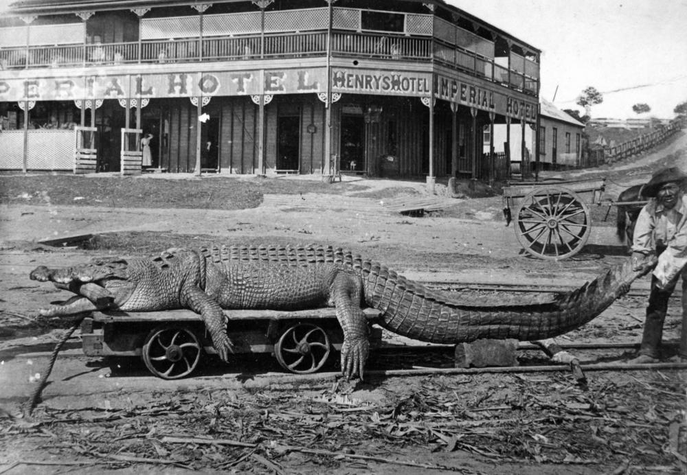 Questões e Fatos sobre Crocodilianos gigantes: Transferência de debate da comunidade Conflitos Selvagens.  StateLibQld_1_125851_Saltwater_crocodile_caught_in_the_town_reach_of_the_Johnstone_River%2C_Innisfail%2C_ca._1903