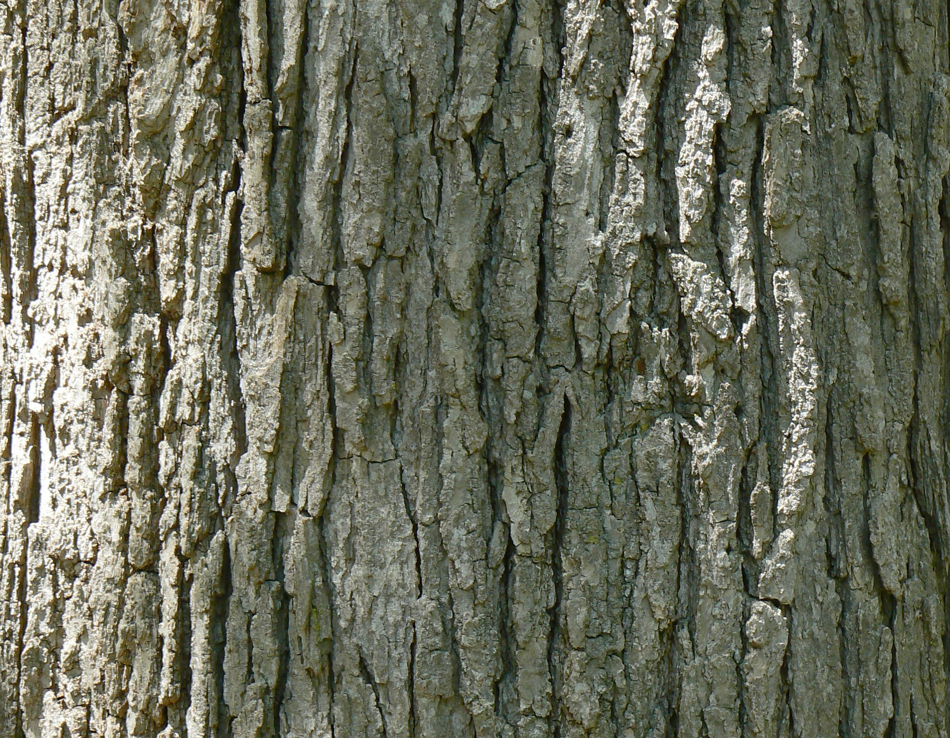 File swamp white oak quercus bicolor bark detail g