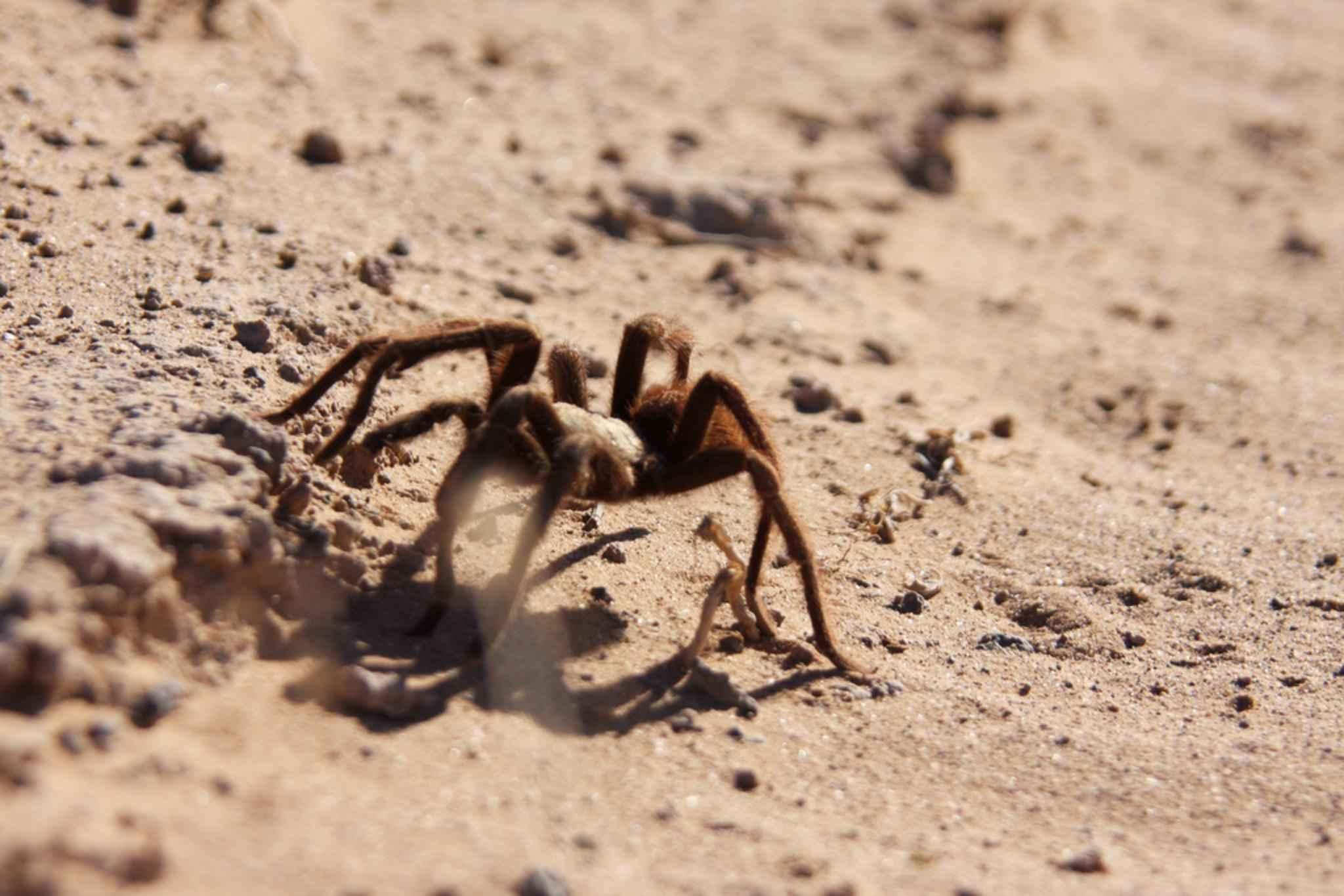 File:Tarantula family ...