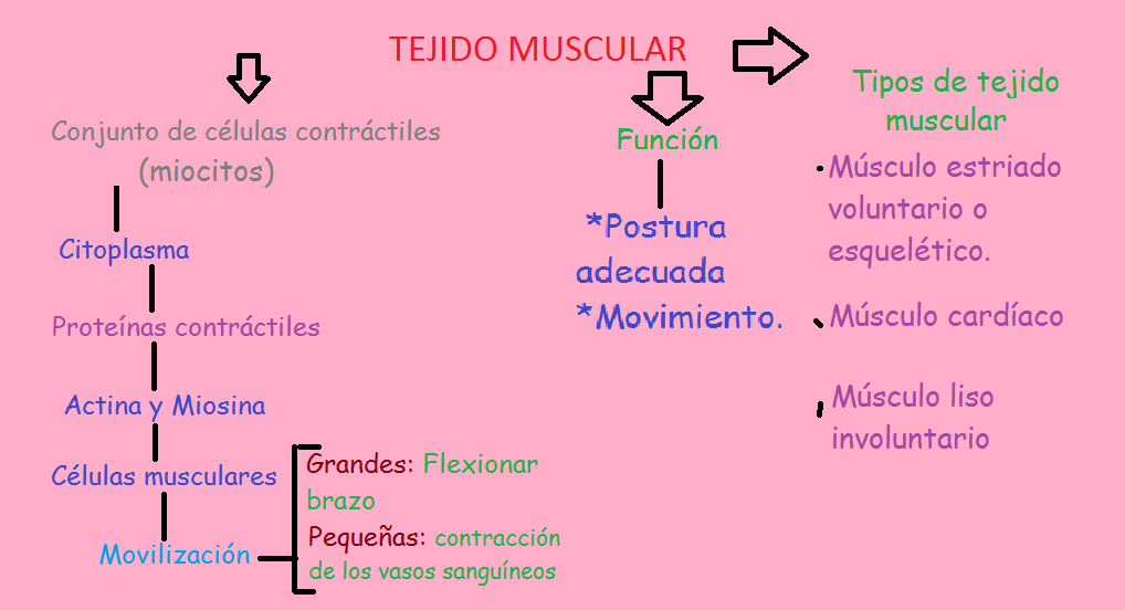 File:Tejido muscular 1.png - Wikimedia Commons