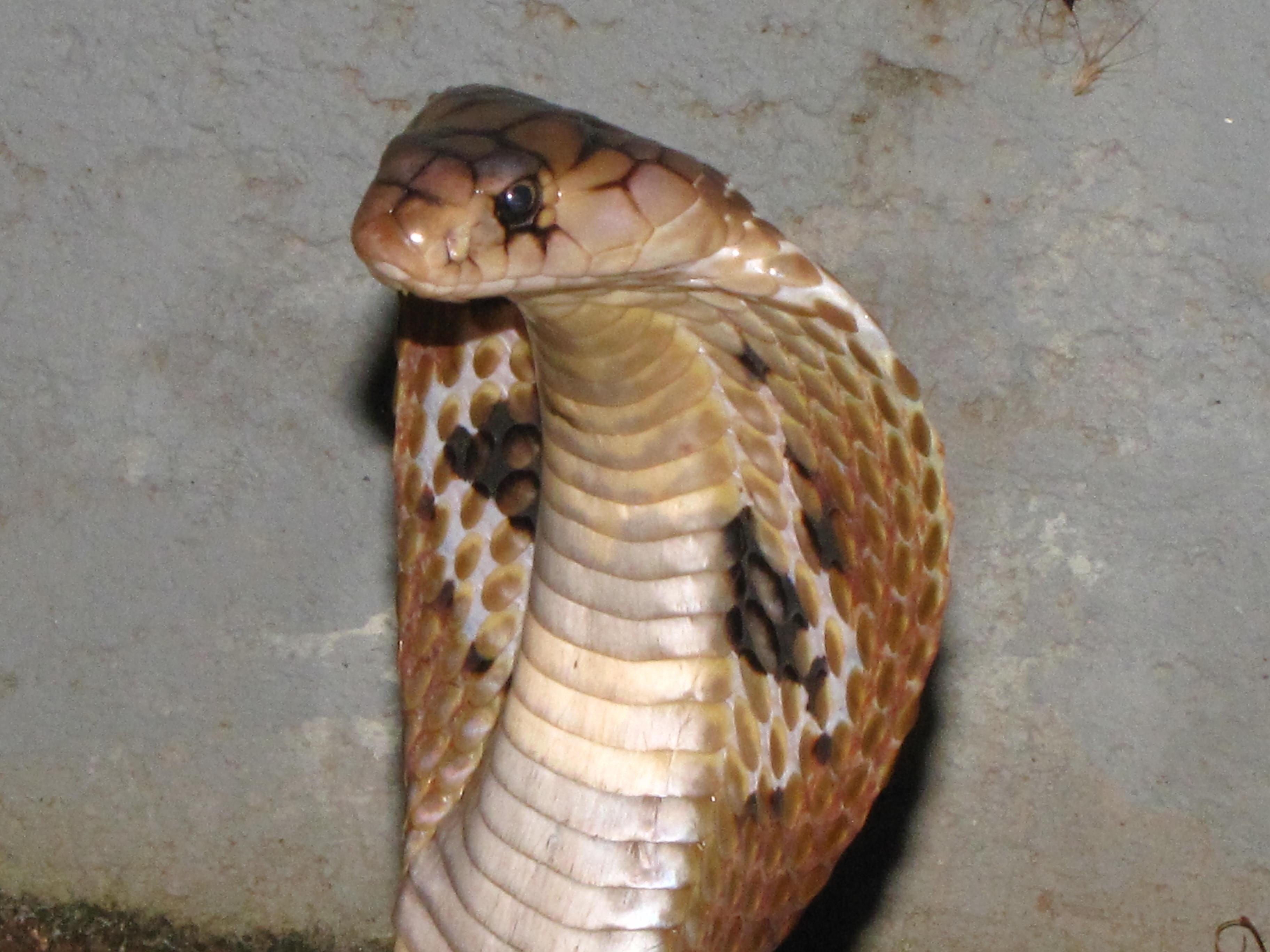 Monacled Cobra, Naja Naja Kaouthia Photograph by David