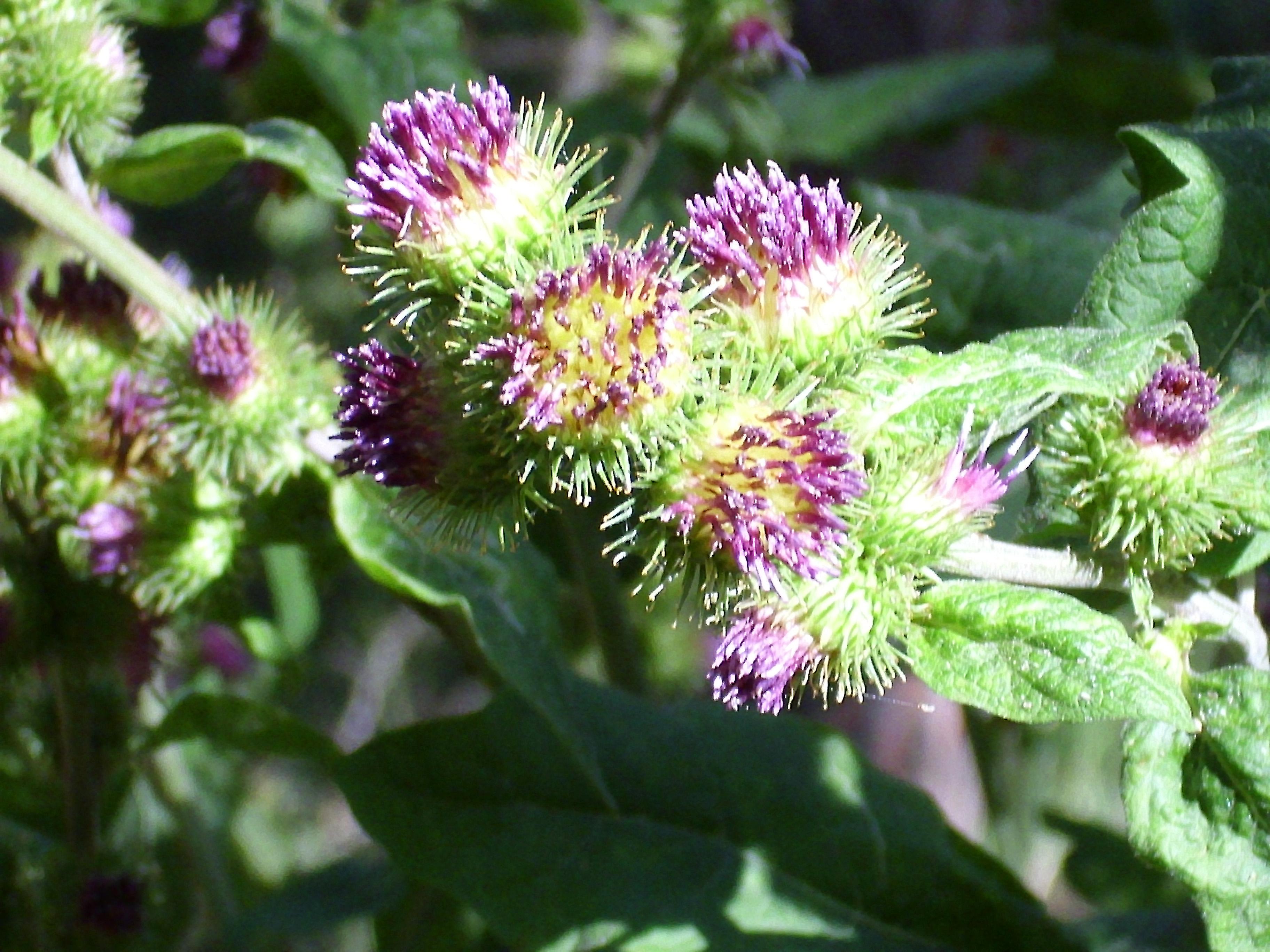 Xanthium Strumarium Flower مسابقه علمی ...