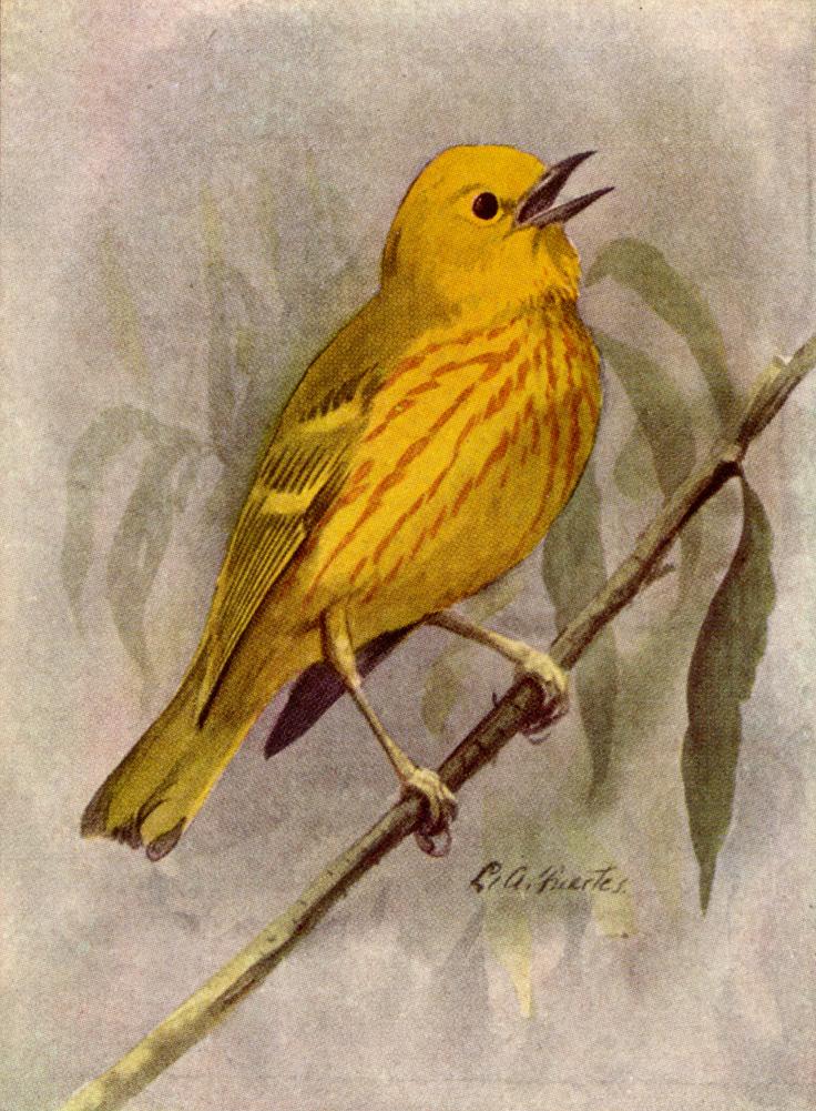 Illustration by Louis Agassiz Fuertes (artist, 1874-1927).