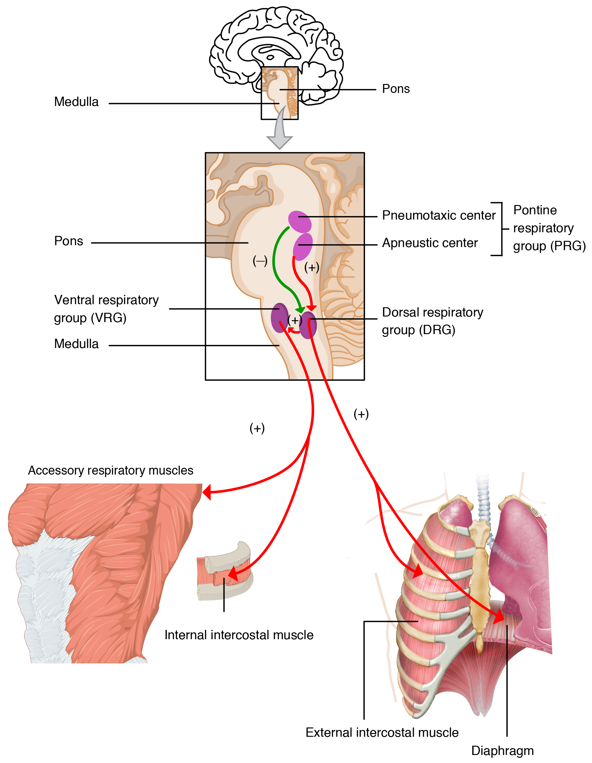 File 2327 Respiratory Centers of the Brain also Clipart 29907 in addition Misc furthermore Brain Stem 2014 in addition BODY SYSTEMS POSTER PROJECT. on illustration of the dorsal body cavity
