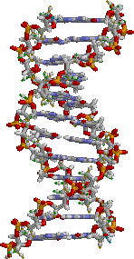 DNA structure. Bases are in the centre, surrounded by phosphate–sugar chains in a double helix.