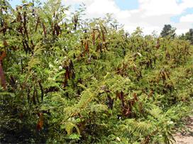 <i>Acaciella angustissima</i> species of plant