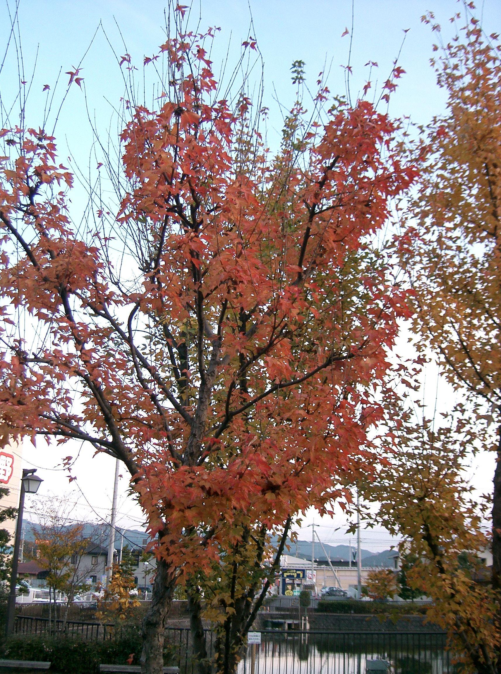 枫叶 红枫 树 1712图片