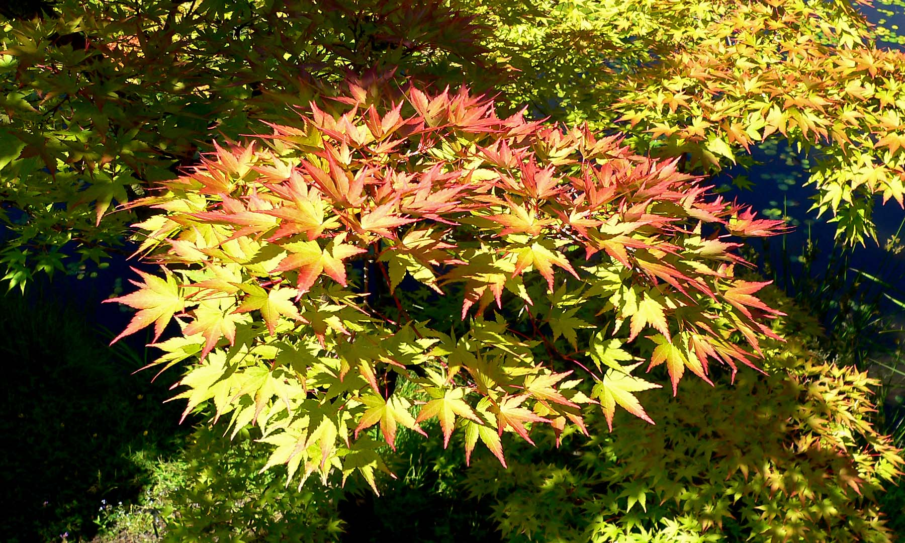 File acer palmatum shigitatsu sawa wikimedia commons for Arbustos de hoja perenne para jardin