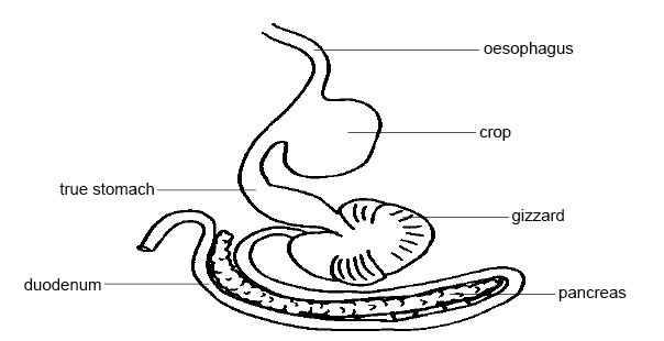 Anatomy and physiology of animals Stomach & small intestine of hen.jpg