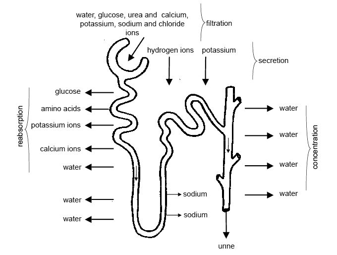Anatomy and physiology of animals Summary of the processes involved in the formation of urine.jpg